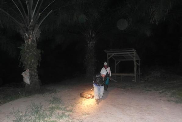 Salah seorang kru berburu tengah menarik babi hutan dari titik tembak menuju mobil pengangkut.